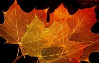Maple_leaf2